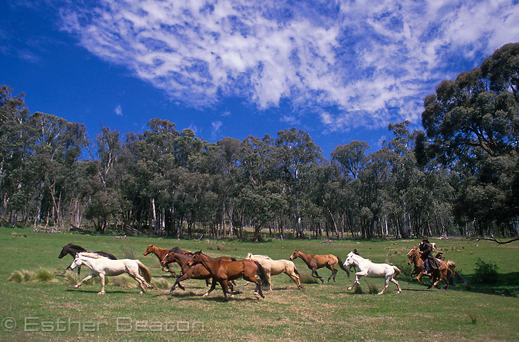 Mountain Cattlmen, or stockmen, chasing wild horses across high country meadow. Mt Buller area, Snowy Mountains, Victoria