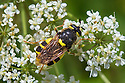 Soldier Fly {Stratiomys chamaeleon} female. Nordtirol, Austrian Alps, Austria, July.