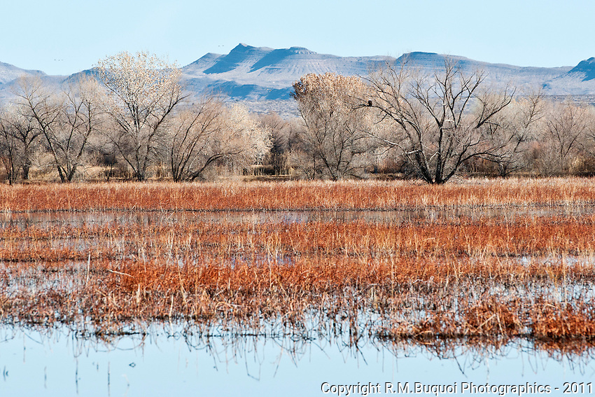 Flooded corn fields at Bosque Del Apache NWR
