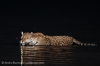 Jaguar (Panthera onca), adult female at the edge of Pinquen River, lowland tropical rainforest, Manu National Park, Peru.