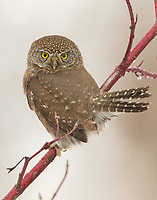 A Northern Pygmy-Owl hunts from a Red-Osier Dogwood. (Washington)