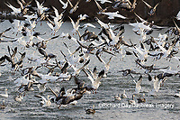 00754-02607 Snow Geese (Anser caerulescens) landing on lake Marion Co. IL