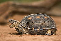 481150040 a wild texas tortoise gopherus berlandieri in the rio grande valley texas united states