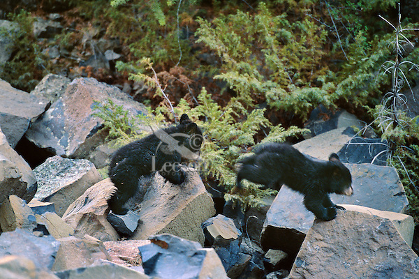 Two young Black Bear cubs romp over boulders at bottom of scree mountain slope.  Western U.S., May.