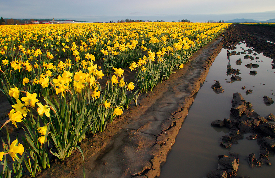 Field of yellow daffodils, Mount Vernon, Skagit Valley, Skagit County, Washington, USA