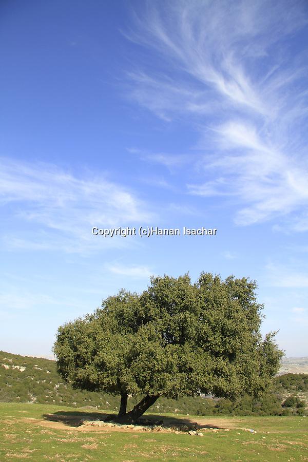 Israel, Upper Galilee, Kermes Oak (Quercus calliprinos) at Ein Zeved on Mount Meron