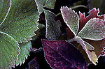 Frosted leaves in garden