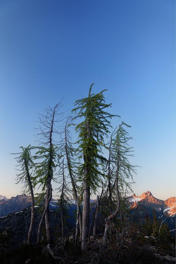 Small stand of Subalpine Larch, near Maple Pass, North Cascades, Washington, USA