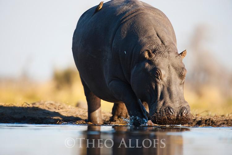 Botswana, Moremi Game Reserve, Okavango Delta, Hippopotamus (Hippopotamus amphibius) stepping into river