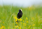 Bobolink (Dolichonyx oryzivorus) male in breeding plumage photographed from low angle amid grasses and yellow flowers, Ithaca, NY, USA