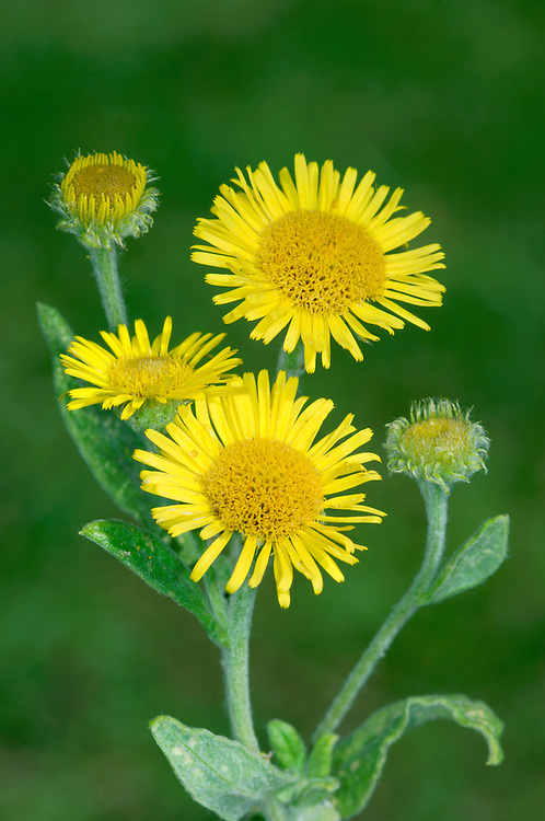 COMMON FLEABANE Pulicaria dysenterica (Asteraceae) Height to 50cm. Creeping perennial with upright, branched and woolly flowering stems. Grows in damp meadows and ditches on heavy soils. FLOWERS in heads, 15-30mm across, with spreading yellow ray florets and deeper yellow, central disc florets; arranged in open clusters (Jul-Sep). FRUITS are achenes with a hairy pappus. LEAVES are heart-shaped and clasping on the stem; basal leaves soon wither. STATUS-Common, except in Scotland.