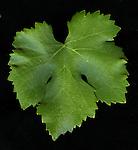 Granache leaf on Gamble ranch near Yountville, CA