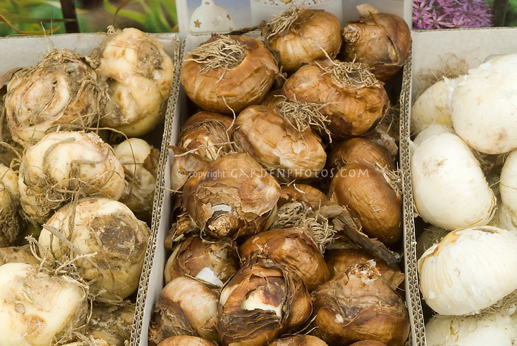 Bulbs in box: Fritillaria, Narcissus, Allium 'Gladiator'
