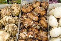 Bulbs in box: Fritillaria, Narcissus, Allium 'Gladiator'