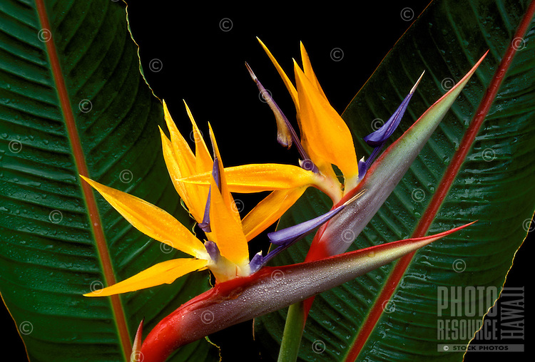Bird of Paradise (stretlitzia reginae), a favorite island ornamental