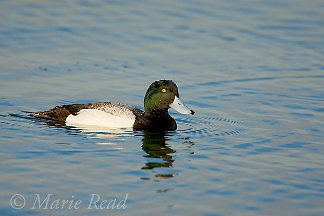 Greater Scaup, male in breeding plumage, swimming, Bolsa Chica Ecological Reserve, California, USA