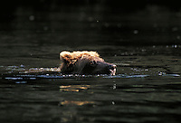 Brown bear swimming, Wolverine Creek, Alaska. Alaska United States Wolverine Creek.