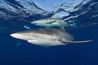 TH4245-D. Silky Sharks (Carcharhinus falciformis), grow to 10 feet long, usually found in the open ocean or at least far offshore in deep water, sometimes in big schools. They feed on squid and a variety of fish including tuna. Cuba, Caribbean Sea.<br /> Photo Copyright &copy; Brandon Cole. All rights reserved worldwide.  www.brandoncole.com