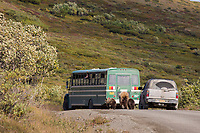 A family of grizzly bears, a sow and two spring cubs, walk along the Denali Park road, while visitors watch from a park bus.