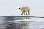 Norway, Svalbard, polar bear walking along ice edge