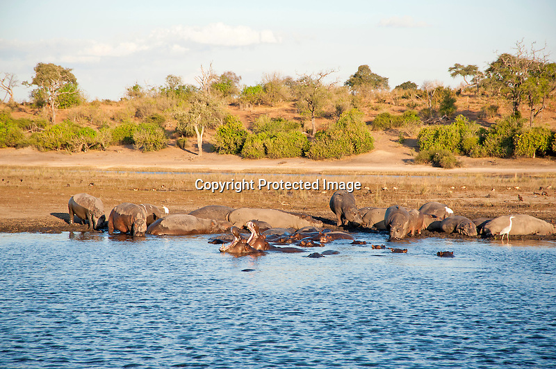 Hippos Bathing in the Chobe River in Chobe National Park in Botswana in Africa