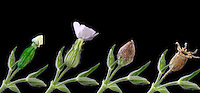 FLOWERING PLANT PROGRESSION<br /> Variations Available<br /> White Campion, Silene latifolia<br /> Composite photograph showing the progression of development, flowering and seed dispersal of the white campion.