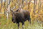 Bull Moose (Alces).in The Grand Teton National Park Wyoming.October 1, 2002 Photo by © Fitzroy Barrett