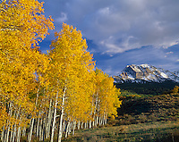 Uncompahgre National Forest, CO<br /> Gold aspen (Populus tremuloides) grove with distant San Juan Range in evening light