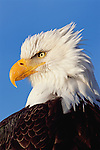 Portrait of a Bald Eagle against a blue sky in Southcentral Alaska.