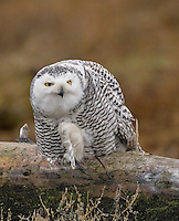 Snowy owl perched on a driftwood log with one foot raised.<br /> Boundary Bay, Ladner, British Columbia, Canada<br /> 12/3/2011