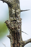 Manna-Singzikade, Manna-Zikade, Eschenzikade, Paarung, Kopulation, Kopula, Cicada orni, pairing