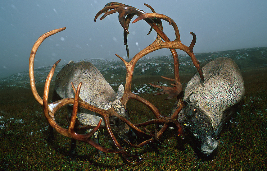 Reindeer fight.<br />