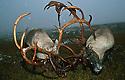 Reindeer fight.<br /> Forollhogna nationalpark, villreinkamp,