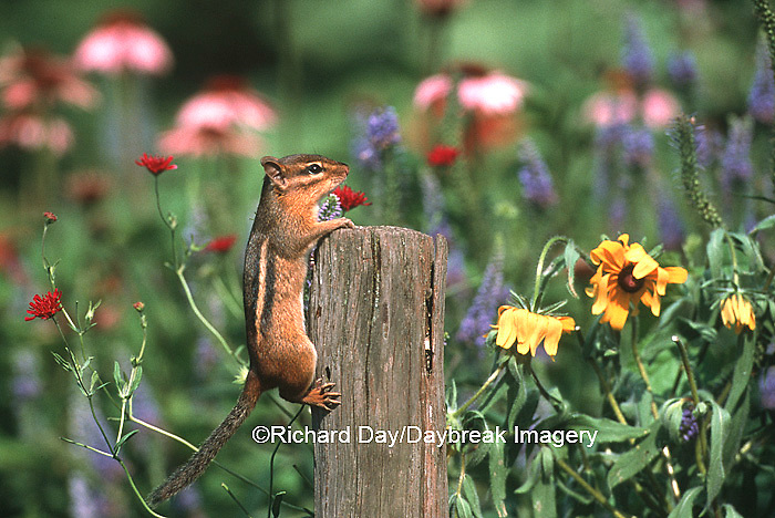 02051-00118 vEastern Chipmunk (Tamais striatus) on fence post near flowers,  Marion Co.   IL