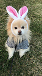 Breed of Animal:	Pomeranian<br />
