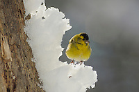 Eurasian Siskin (Carduelis spinus), male perched on snow, Zug, Switzerland, December 2007