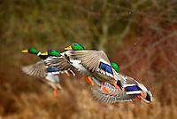 MALLARD DUCK (Anas Platyrhynchos) drakes flying.