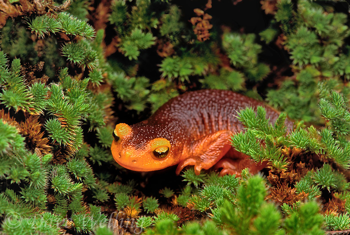 455759504 a wild sierra newt taricha torosa lays in a bed of fir tree branches along hites cove trail in yosemite national park california