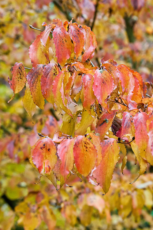 Autumn foliage of Cornus kousa, early November.
