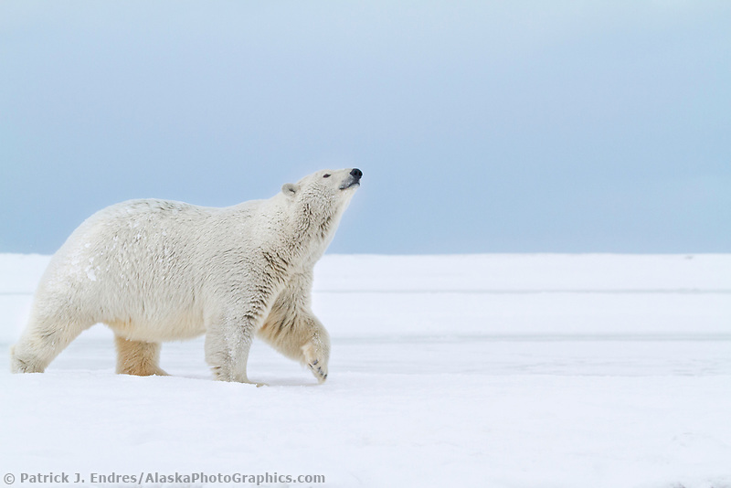 Adult female polar bear walks along the snow covered shore of an island in the Beaufort Sea on Alaska's arctic coast.