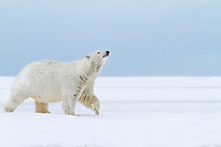 Adult female polar bear walks along the snow covered shore of an island in the Beaufort Sea on Alaska's arctic coast.