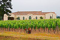 The newly renovated Chateau Petrus seen across its vineyards planted with rows of Merlot vines, a rose bush in the foreground Pomerol Bordeaux Gironde Aquitaine France