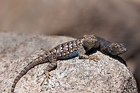 425900007 a pair of wild great basin fence lizards sceloporus occidentalis longipes perches on a large granite rock in the buttermilks along the eastern sierras in inyo county california