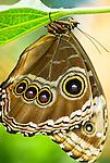 Common morpho butterfly (Morpho peleides)