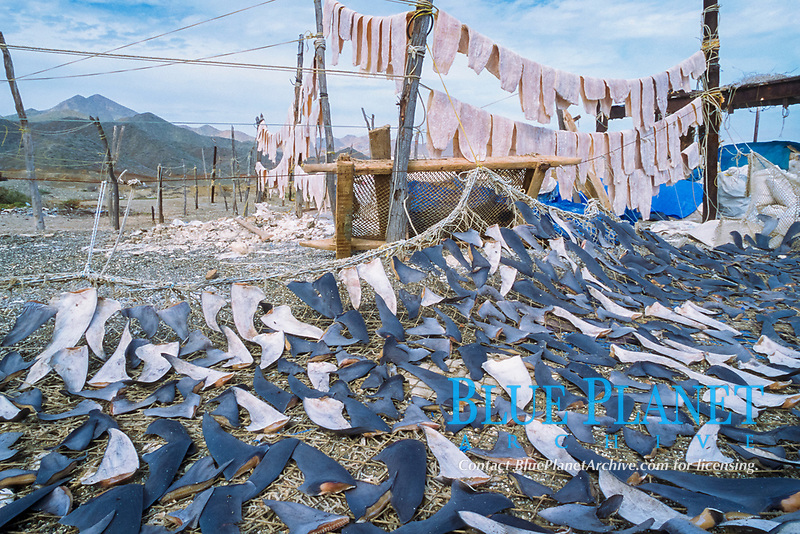 shark finning camp, drying fins and meat of blue shark, Prionace glauca, and mako shark, Isurus oxyrinchus, Magdalena Bay, Baja California, Mexico, Pacific Ocean