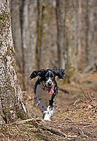0720-1001  English Springer Spaniel Hiking on Mount Rogers Trail in Southwest Virginia, Canis lupus familiaris  © David Kuhn/Dwight Kuhn Photography