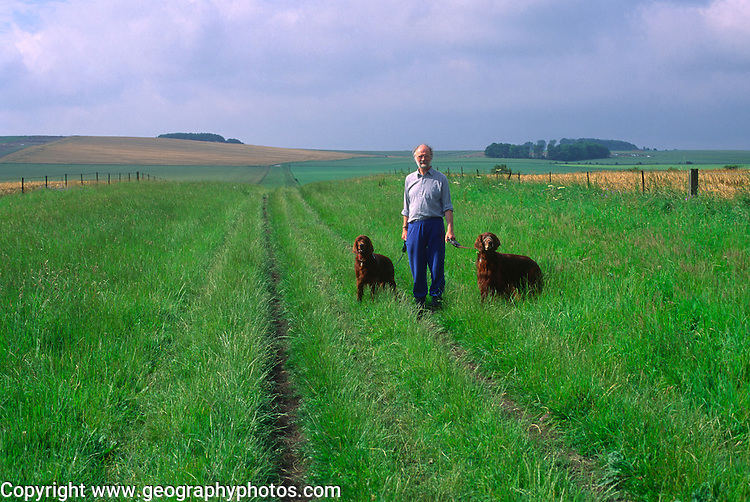 Man walking two red setter dogs on the chalk downs near Devizes, Wiltshire, England