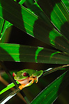 Rana arbórea calzonuda en raphis excelsa, Clayton, Panamá / Gaudy Leaf Frog, Clayton, Panama
