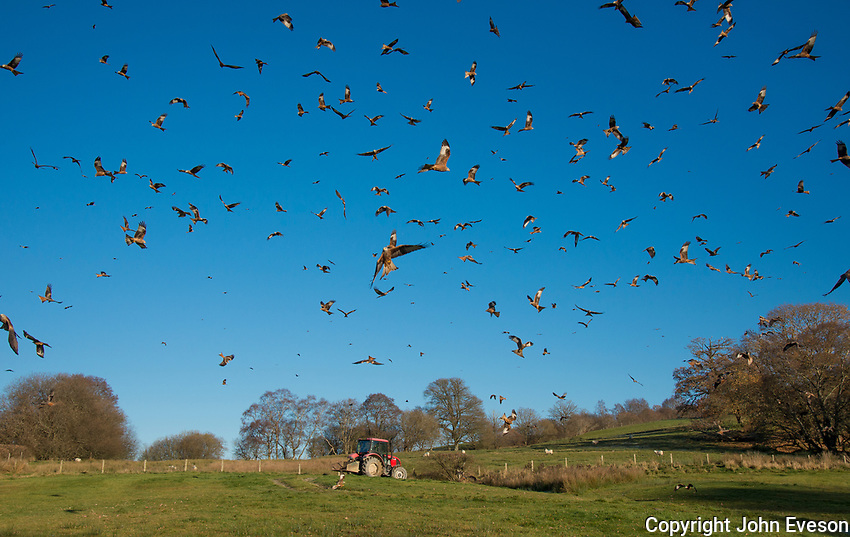 A Red Kites at Gigrin Farm, Rhayader, Powys, Wales.