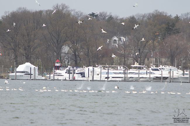 Flock of Northern Gannets in Great Kills Harbor, Staten Island.  Gannets were seeking schools of menhaden. Gannets plunge dive to get to the fish.  Six splashes are seen with many more gannets ready to hit the water.
